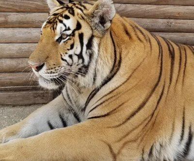 Orange Tiger at St. Augustine Wild Reserve